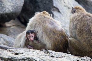 Monkeys at Khao Takiab (Chopsticks Hill), Thailand