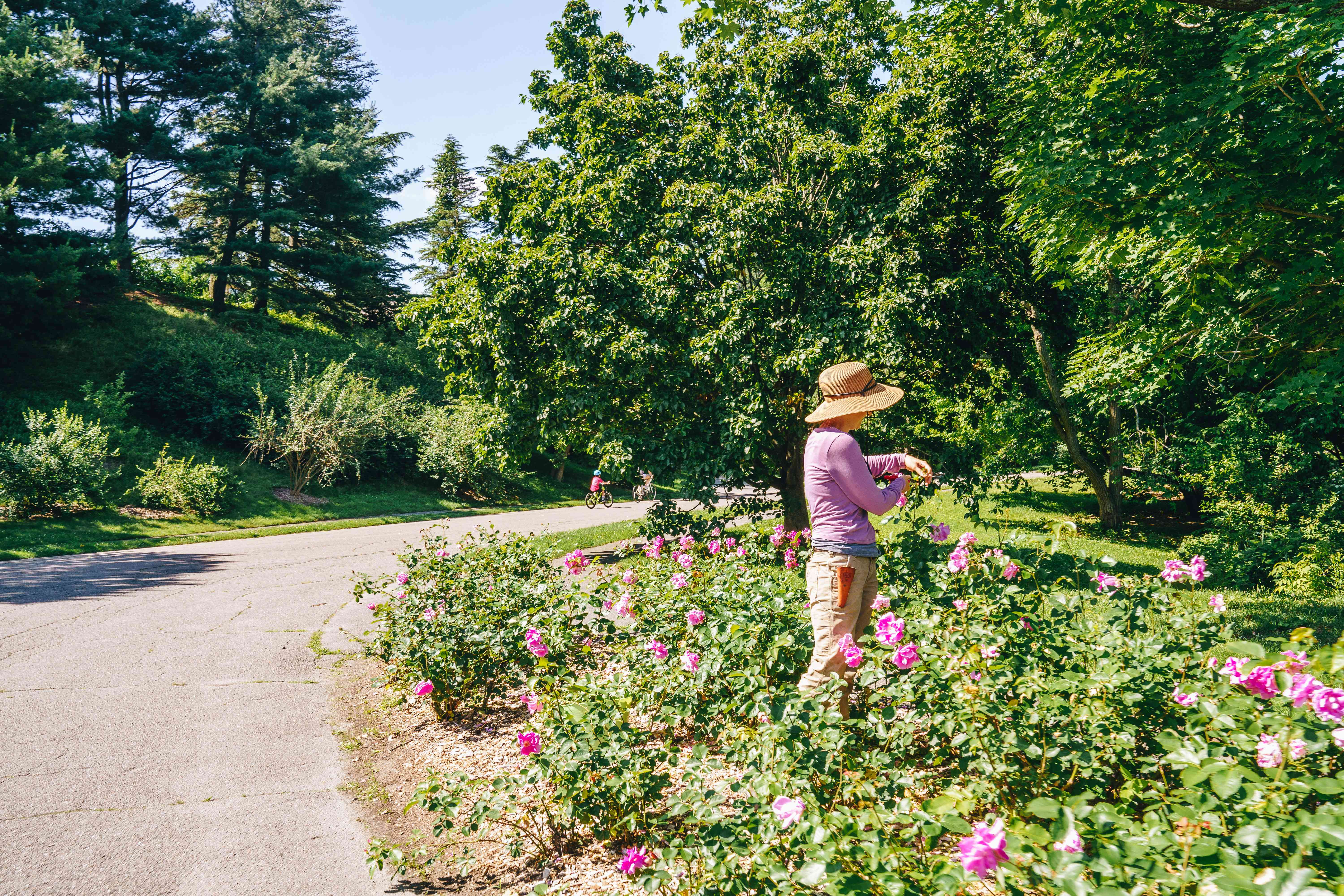 A woman pruning roses in Arnold Arboretum
