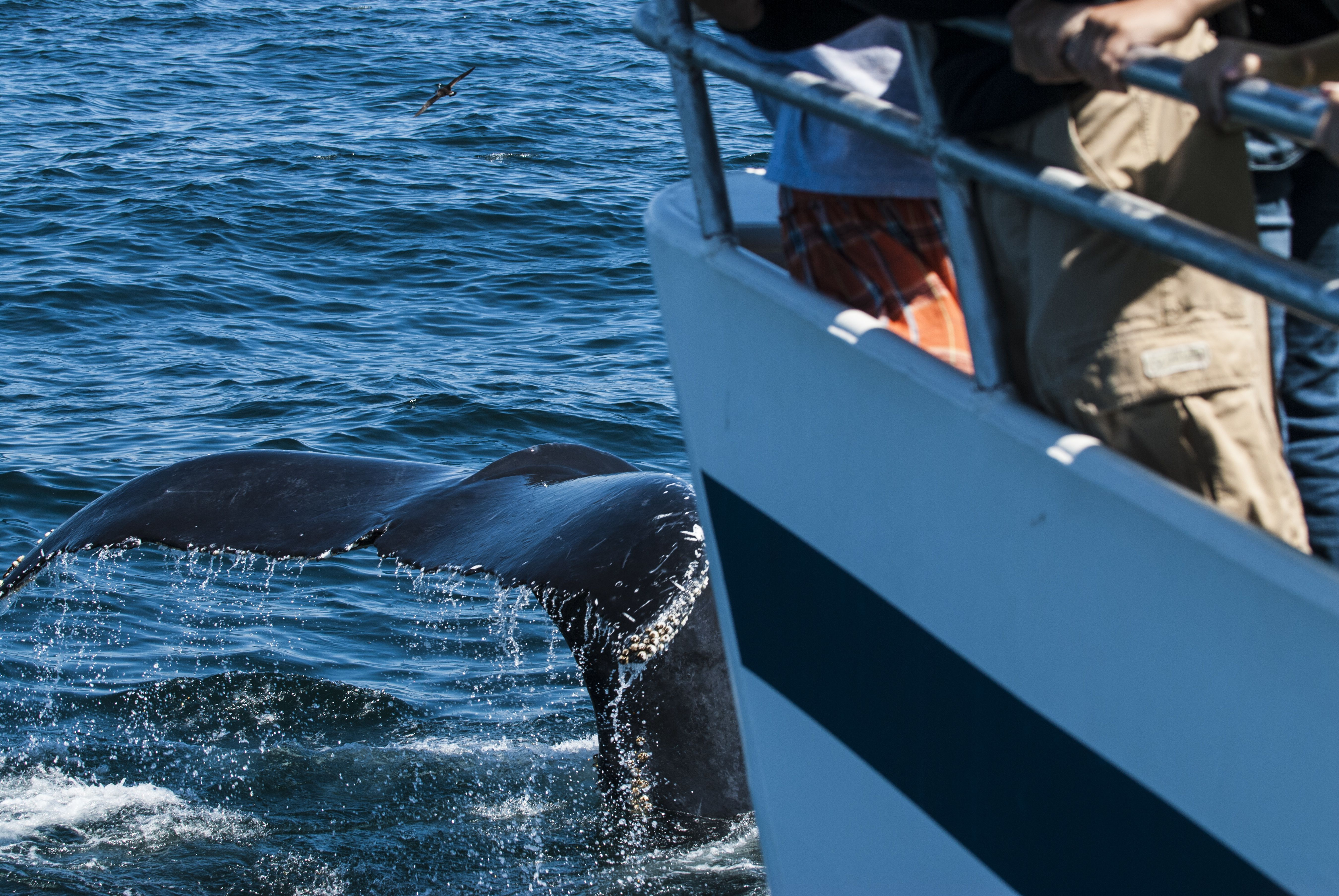 The tail of a whale right in front of a whale watching ship off the coast of Cape Cod.