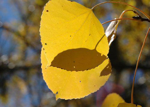 Reno fall color, fall foliage, Lake Tahoe fall color, Sierra Nevada, autumn leaves