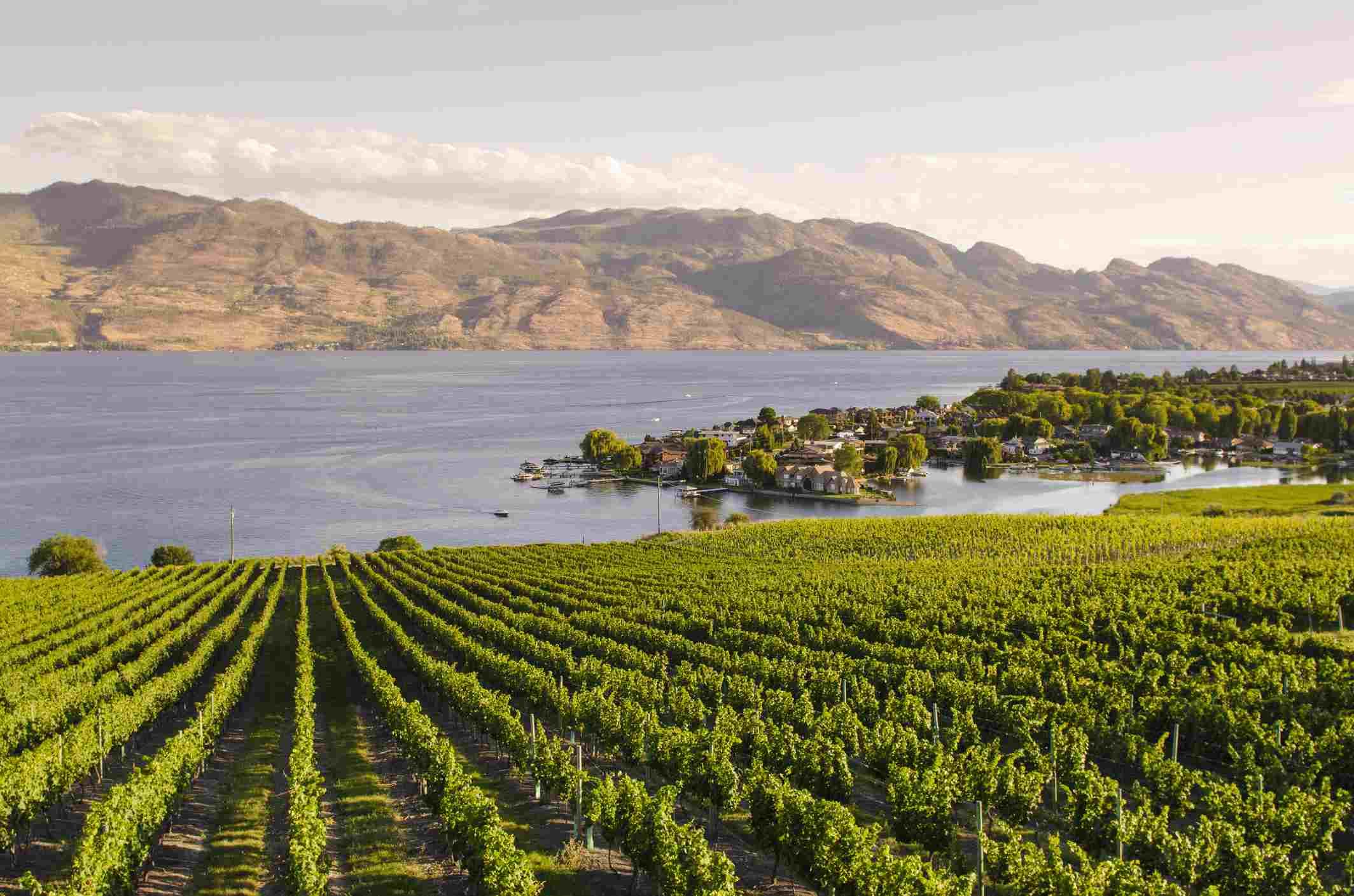 Grape vines and Okanagan Lake at Quails Gate Winery, Kelowna, British Columbia, Canada, North America