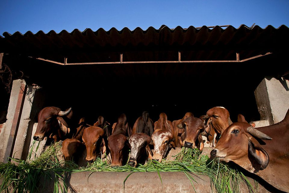Cow shelter in India.