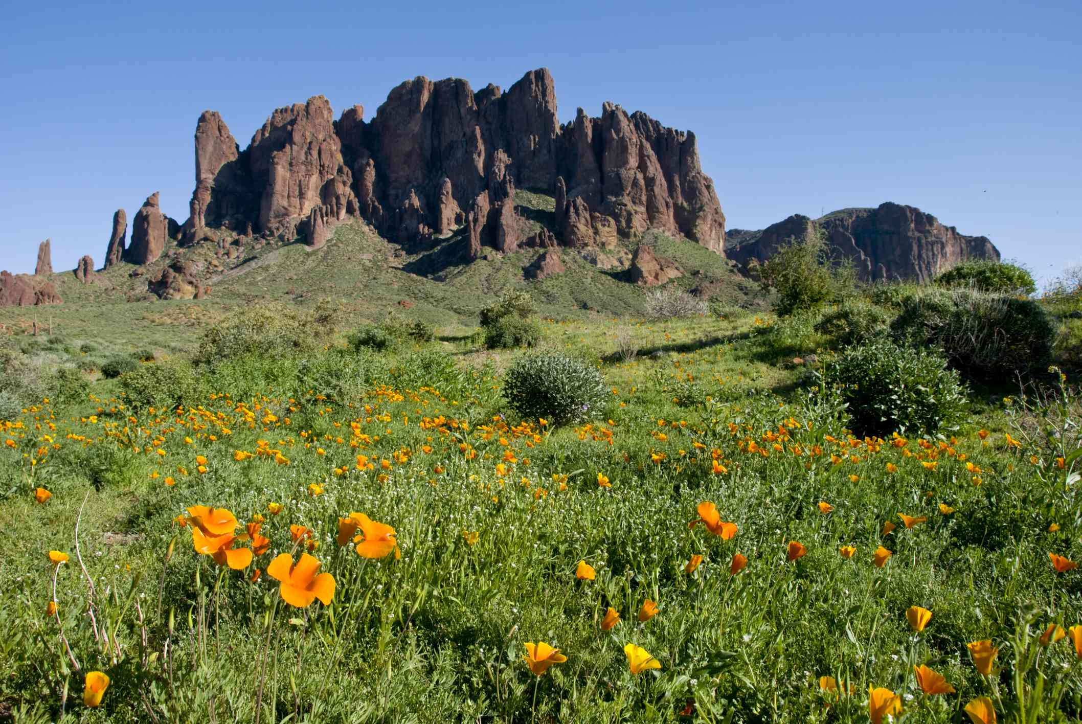 Superstition Mountains flowers
