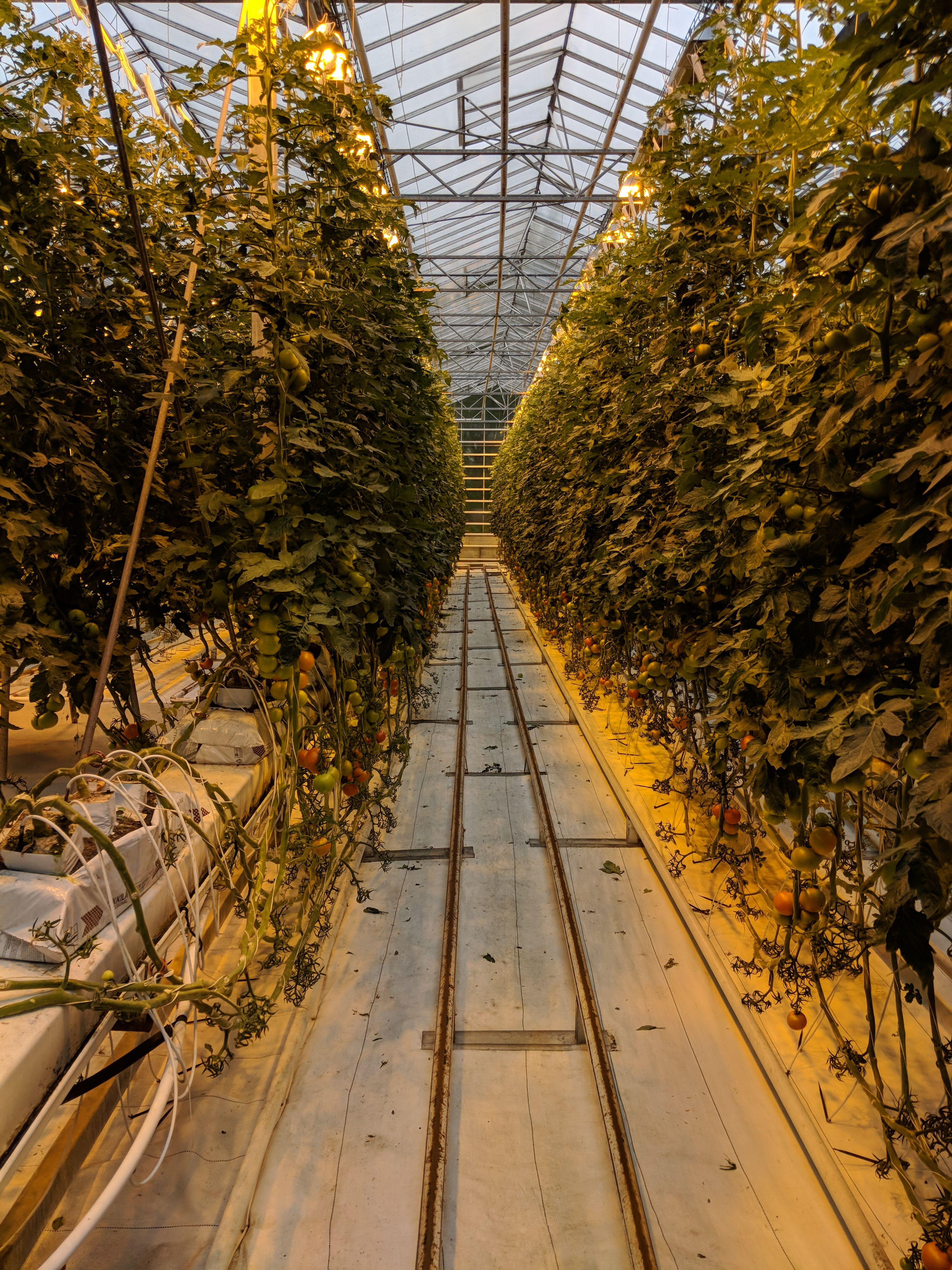 Tomatoes growing under artificial light in Iceland