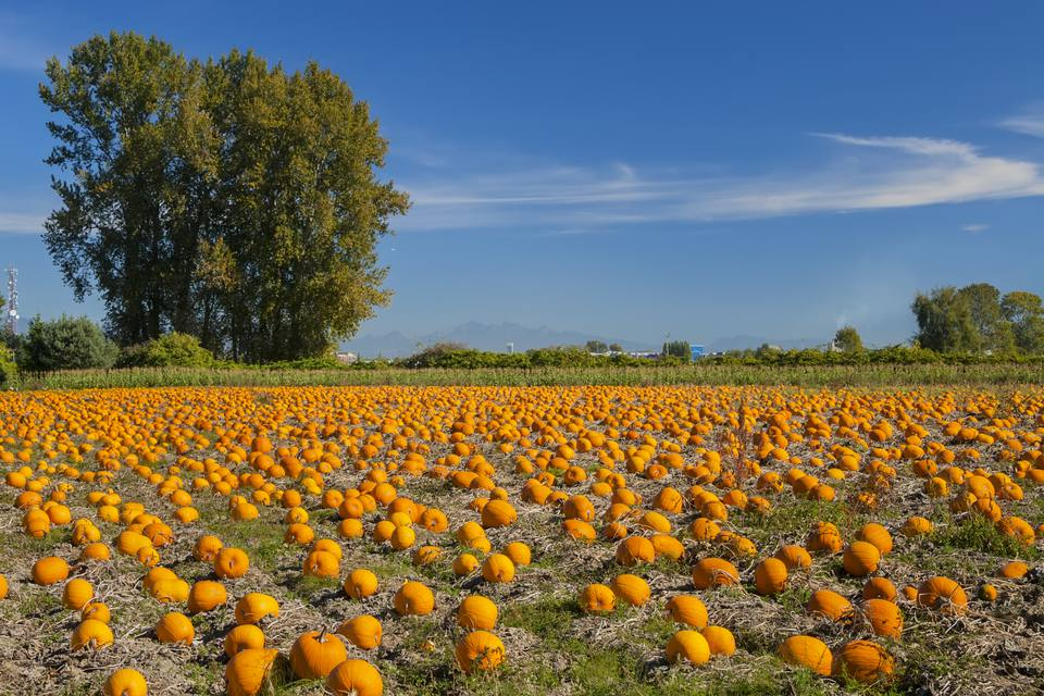 Hundreds of pumpkins in a field against a bright blue sky