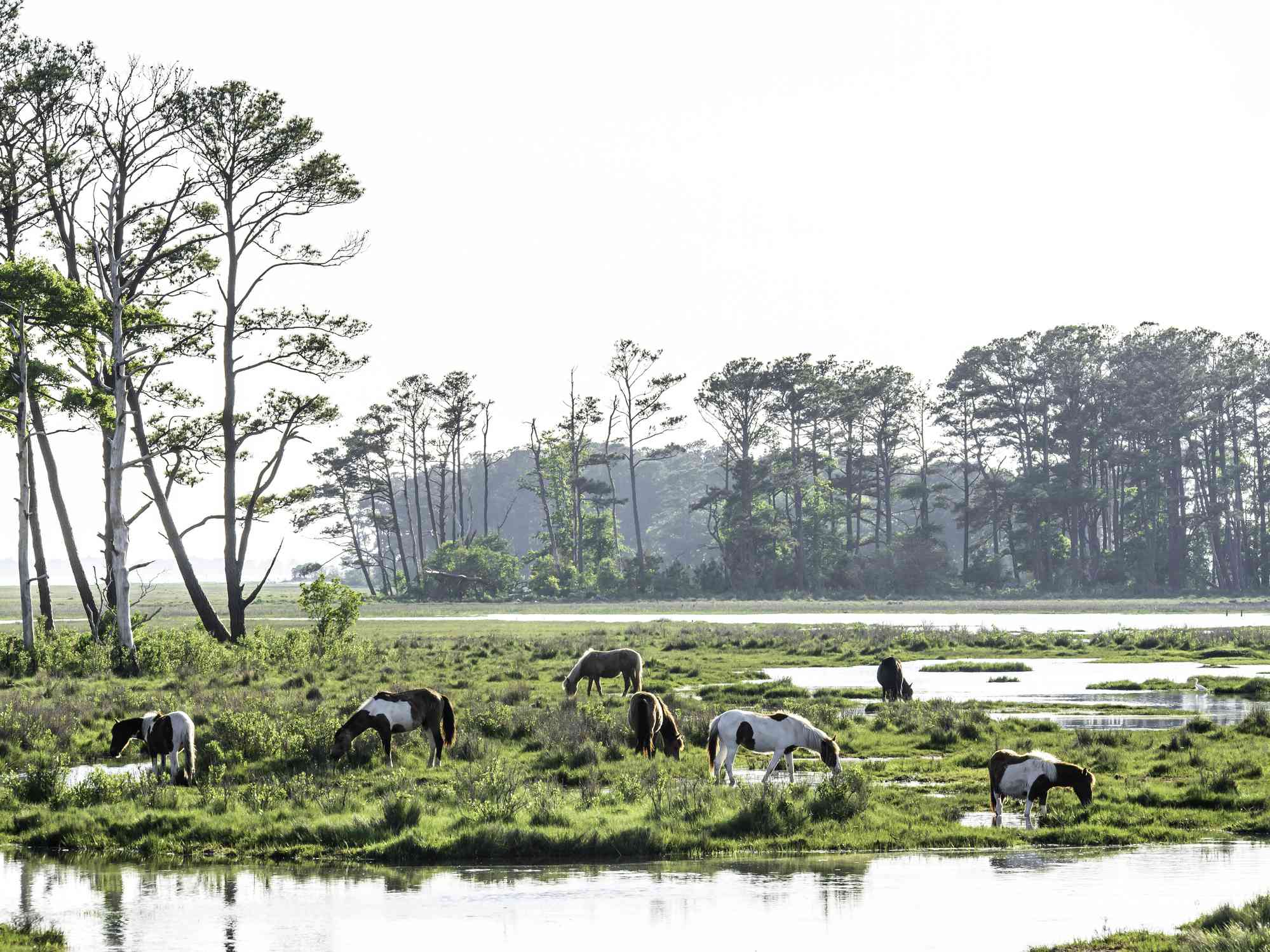 Ponies grazing Chincoteague National Wildlife Reserve