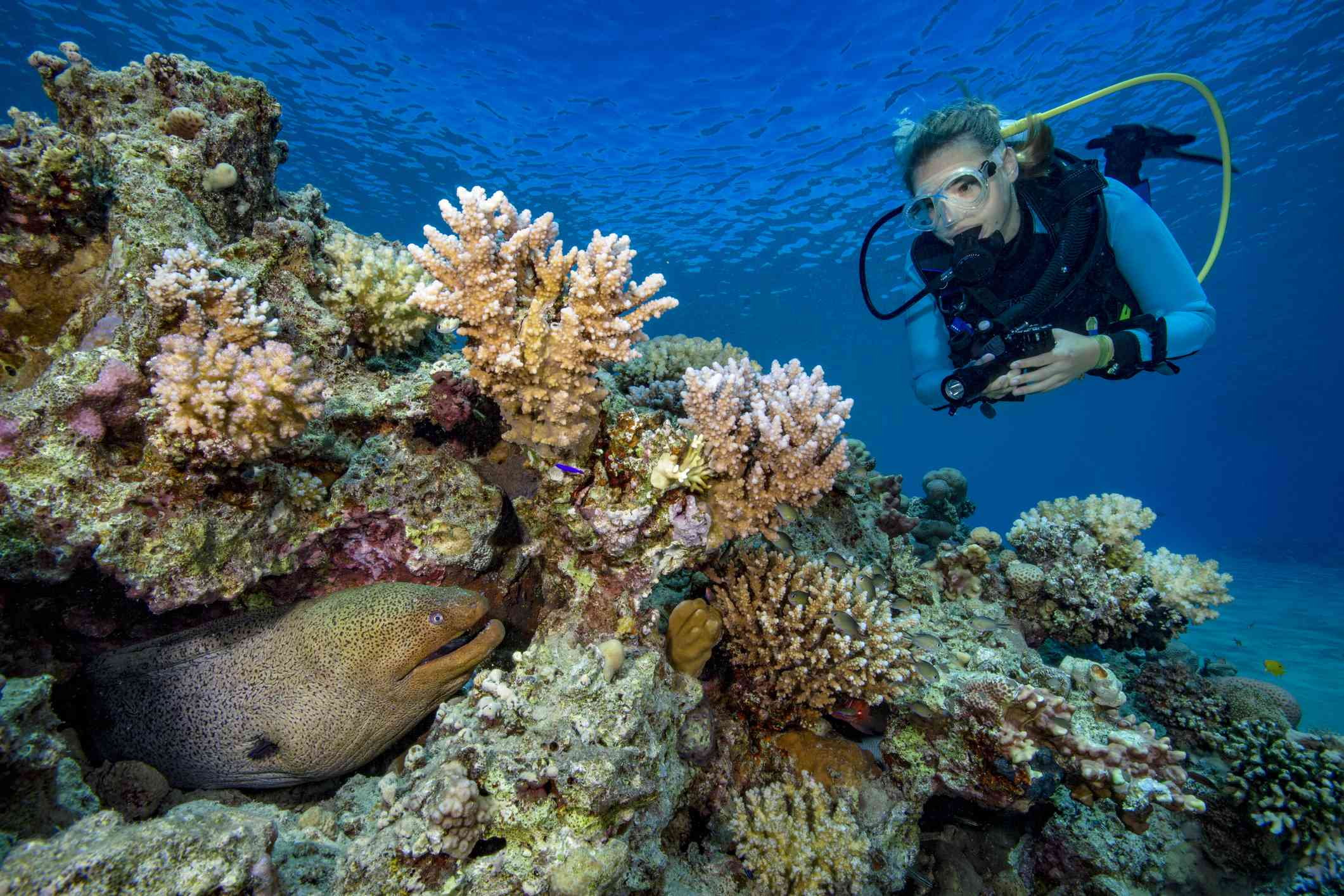 Egypt, Red Sea, Hurghada, scuba diver and yellow-edged moray