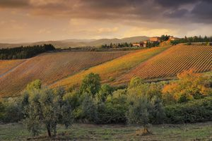 A vineyard in Tuscany in autumn