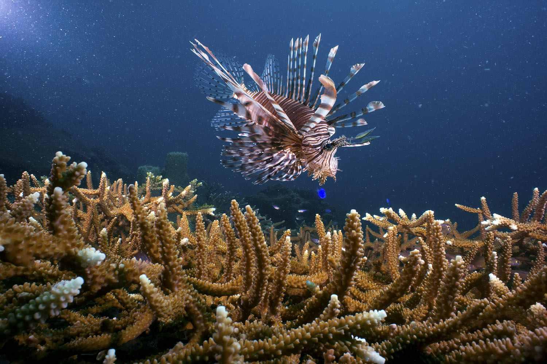 Lionfish and coral at Tunku Abdul Rahman Park, Malaysia