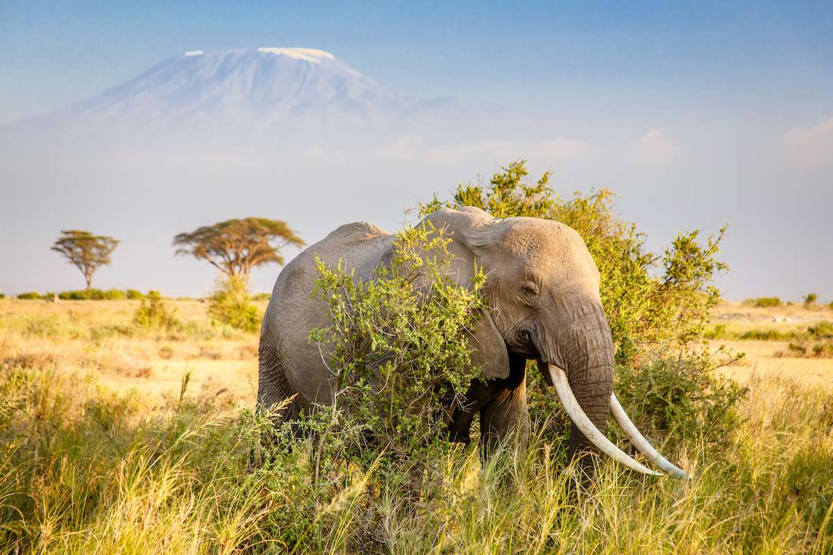 Elephant standing in brush with Mount Kilimanjaro in background