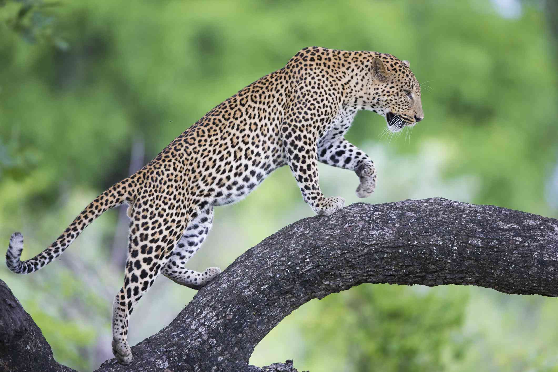 Leopard on a branch, South Luangwa National Park