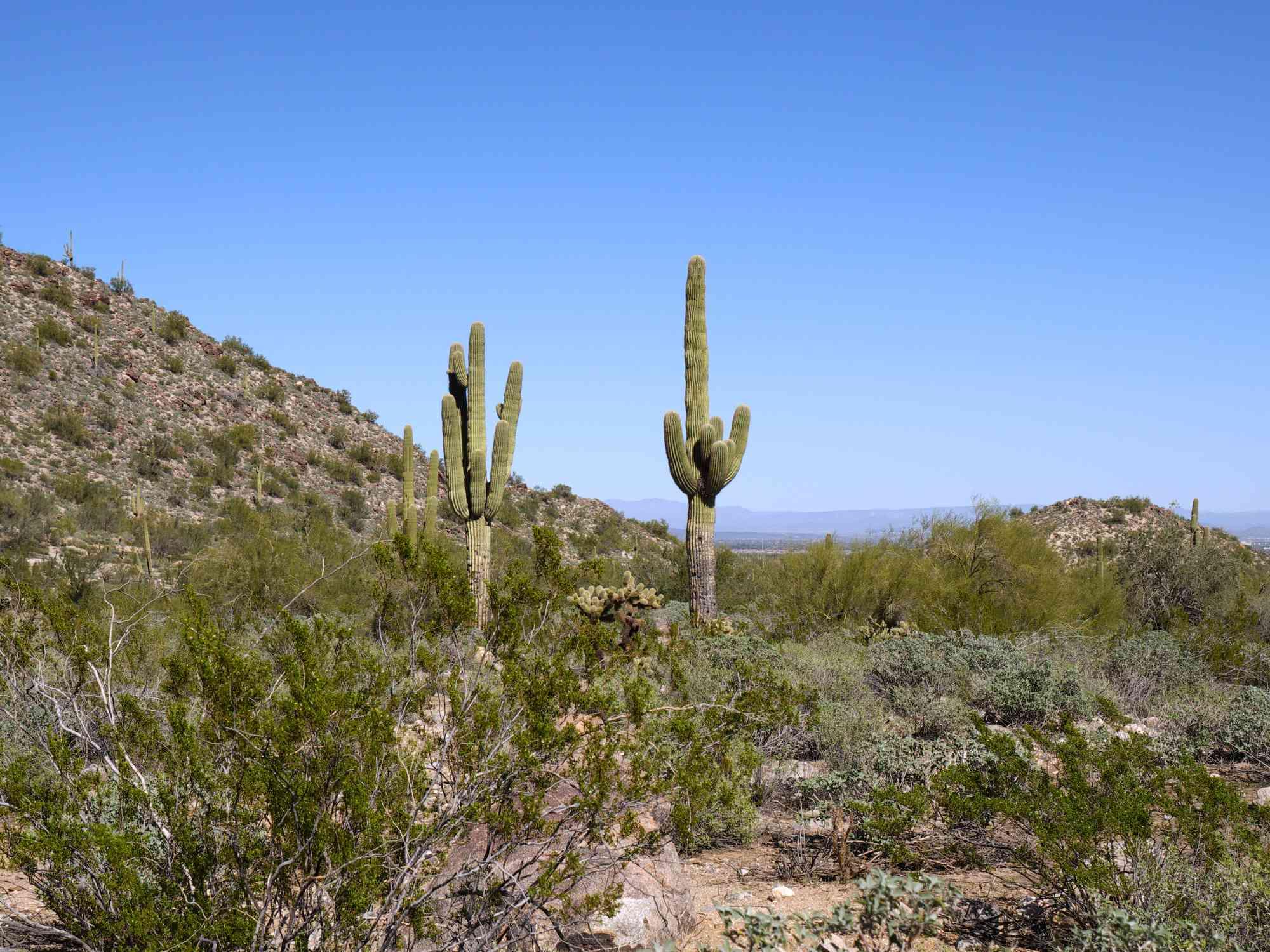Saguaro Cacti at White Tank Regional Park, AZ