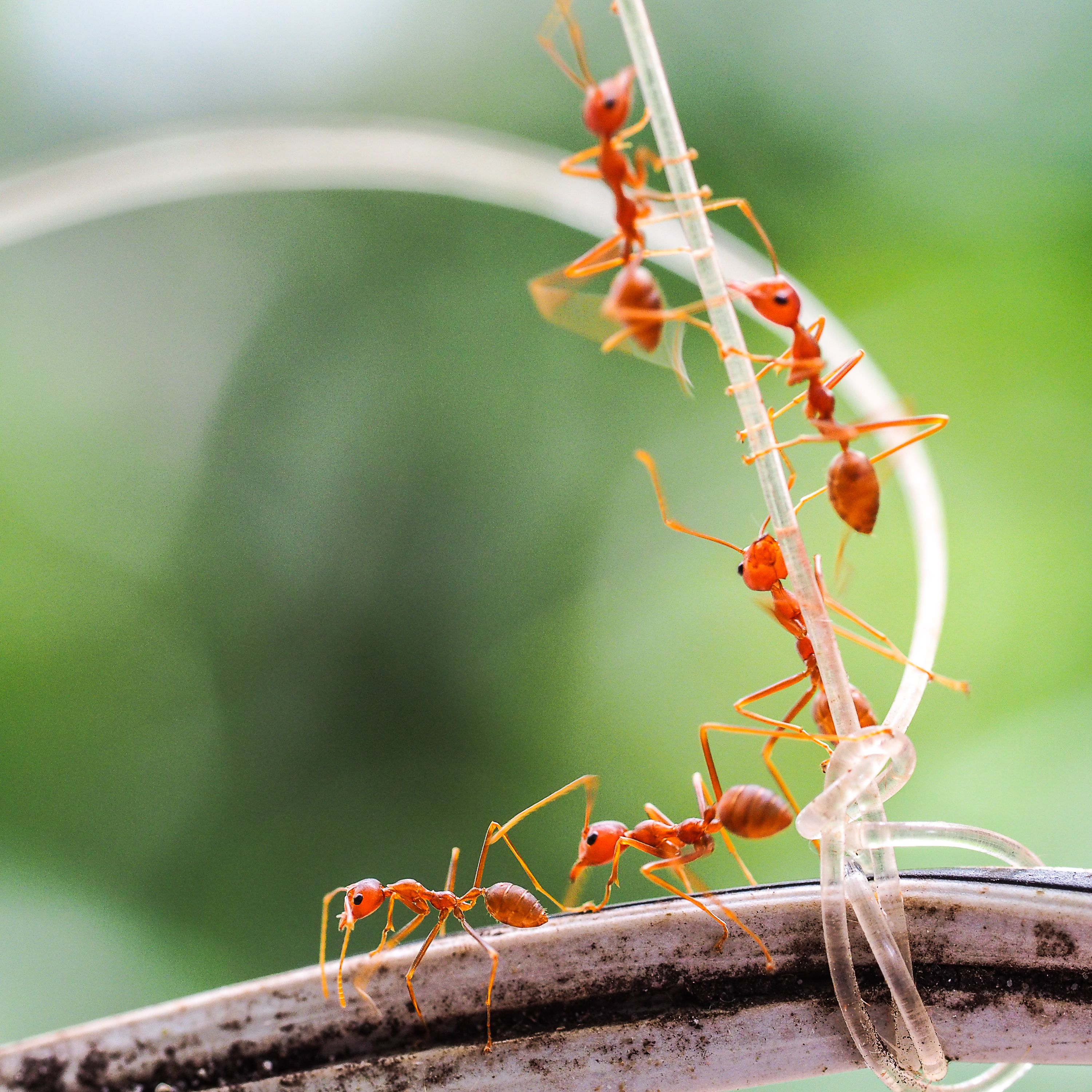What You Need To Know About Fire Ants