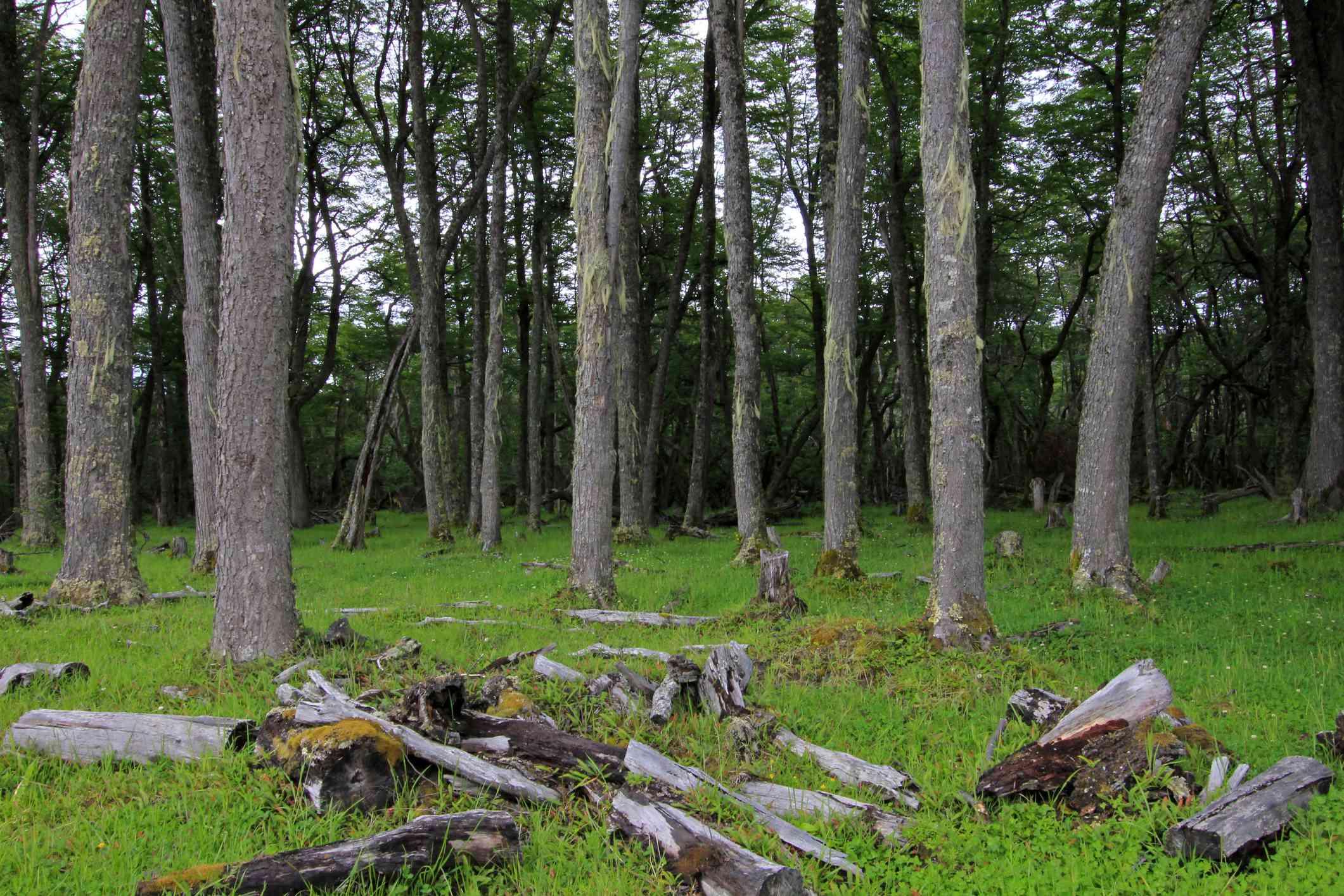 Forest by Villa O'Higgins