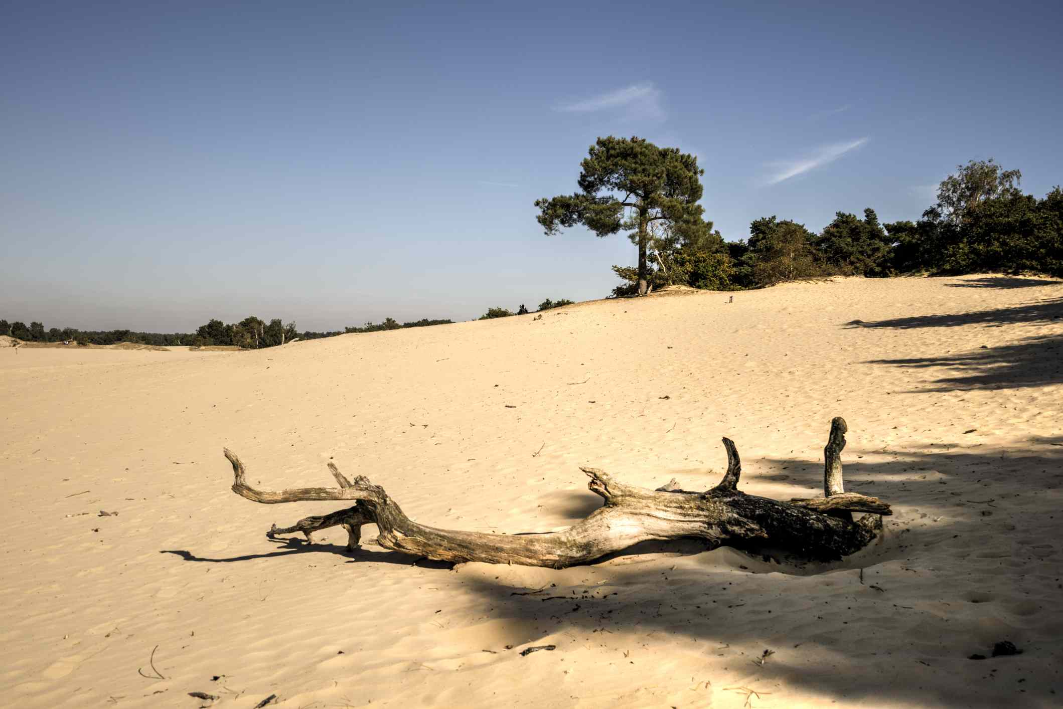 Sand dune with a tree branch in the Netherlands. there are trees in the backgound