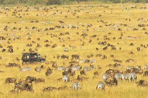 Zebras and wildebeest in Kenya