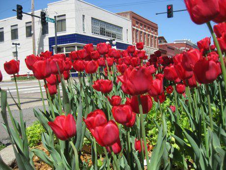 Argenta Tulips