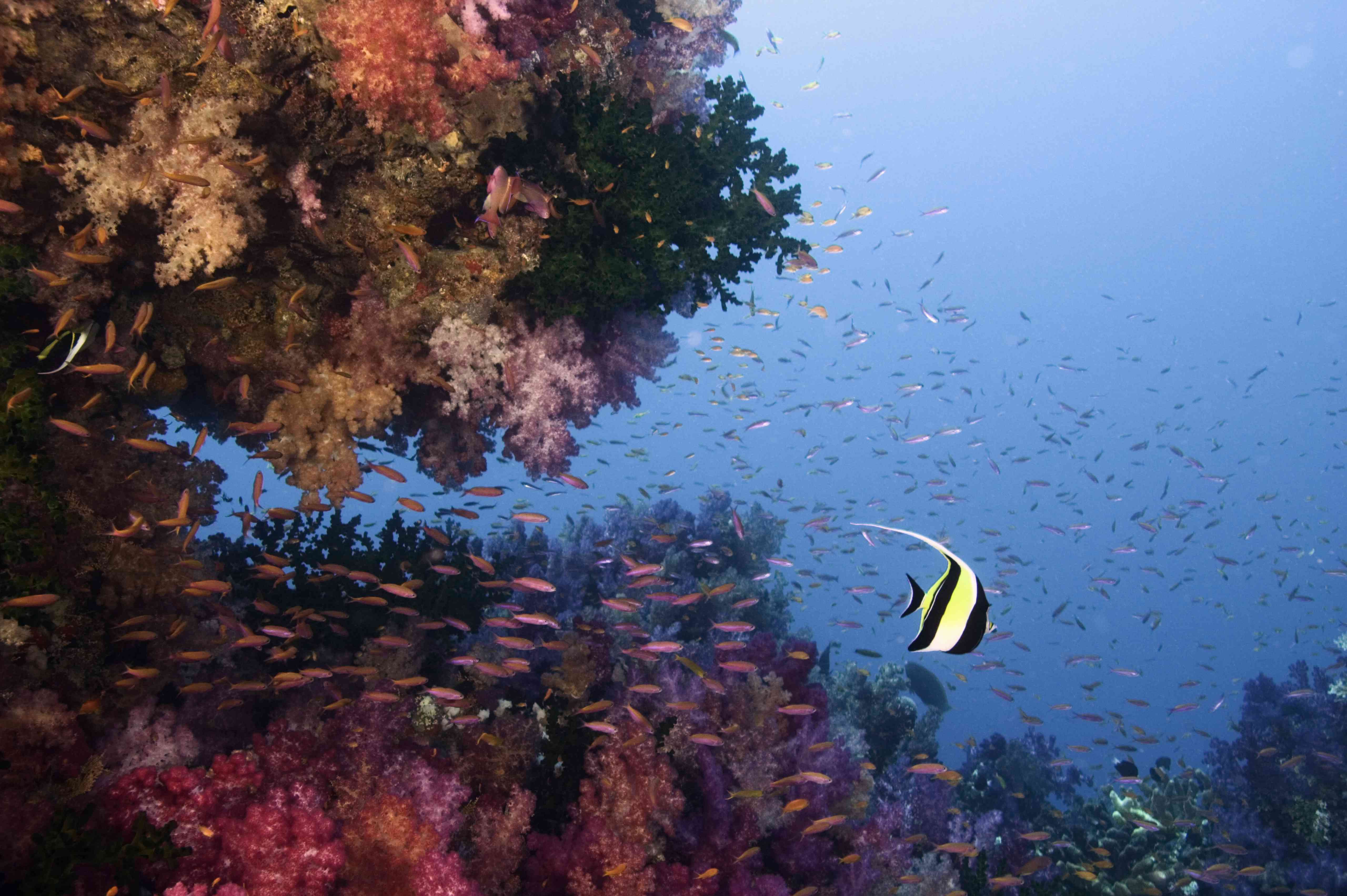 Colorful purple coral and a yellow fish