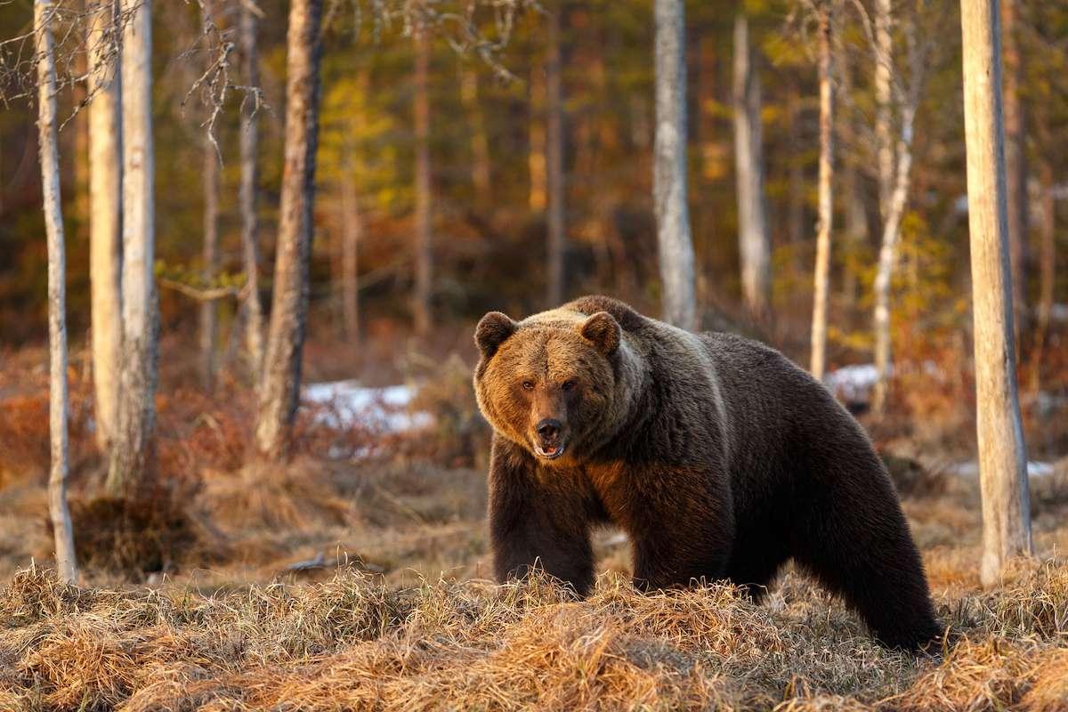 Un oso pardo en el desierto