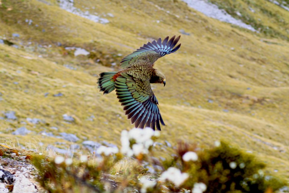 green and purple bird flying with outstretched wings