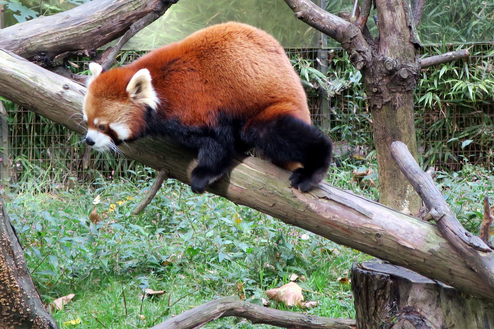 Red panda at the Prospect Park Zoo in Brooklyn