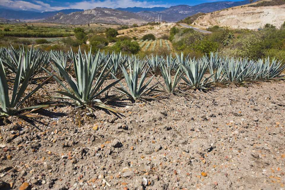 Maguey Plants growing in a field, Matatlan, Oaxaca State, Mexico