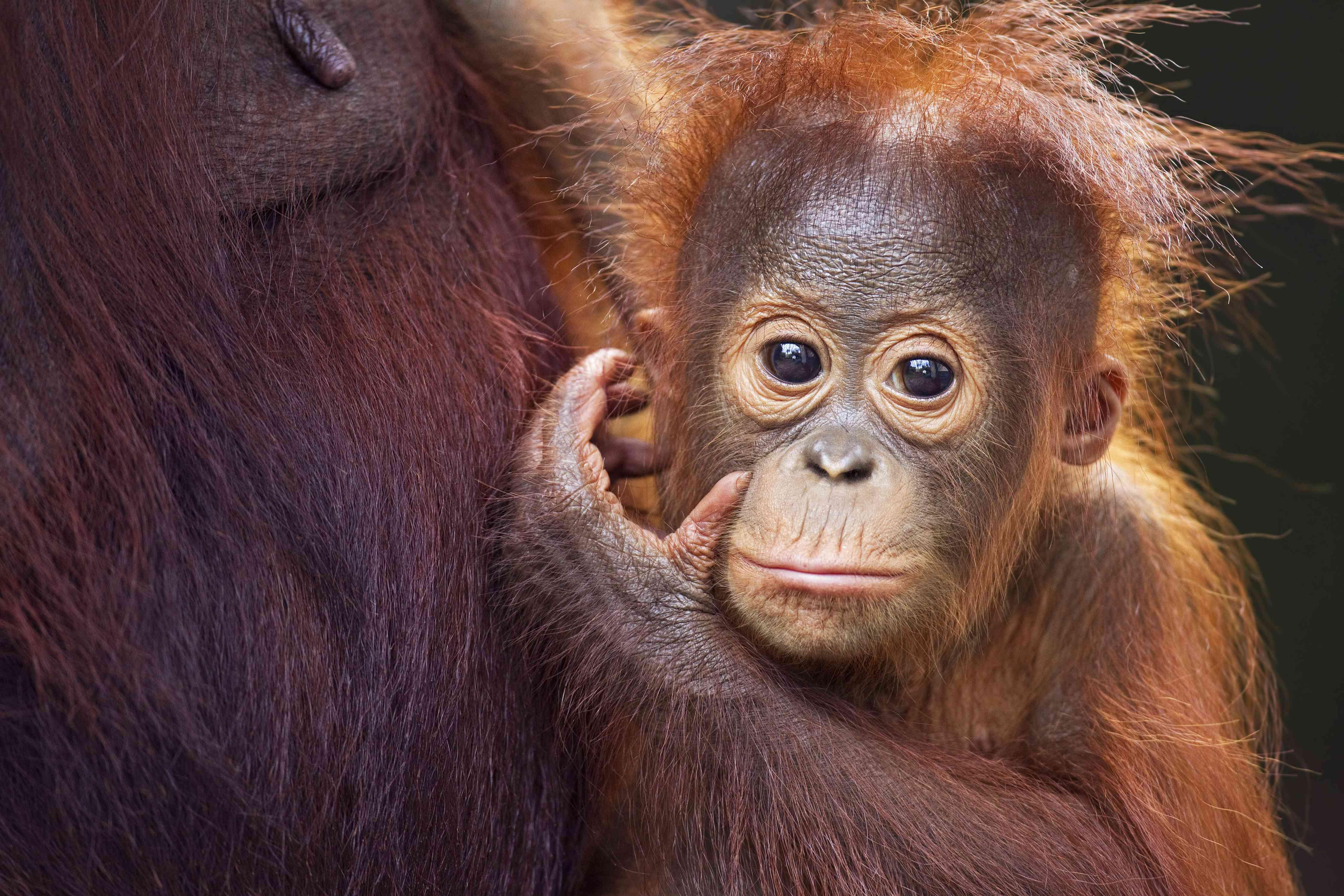A baby orangutan in Kalimantan, Borneo