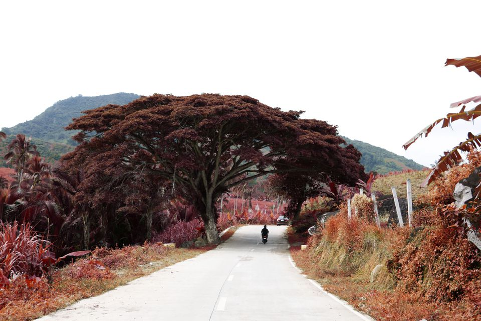 Philippines, Davao City red trees on road