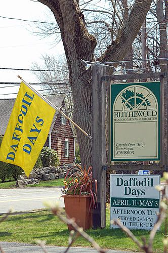 Daffodil Days at Blithewold A Spring Tradition