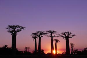 Baobab trees at sunset, Madagascar