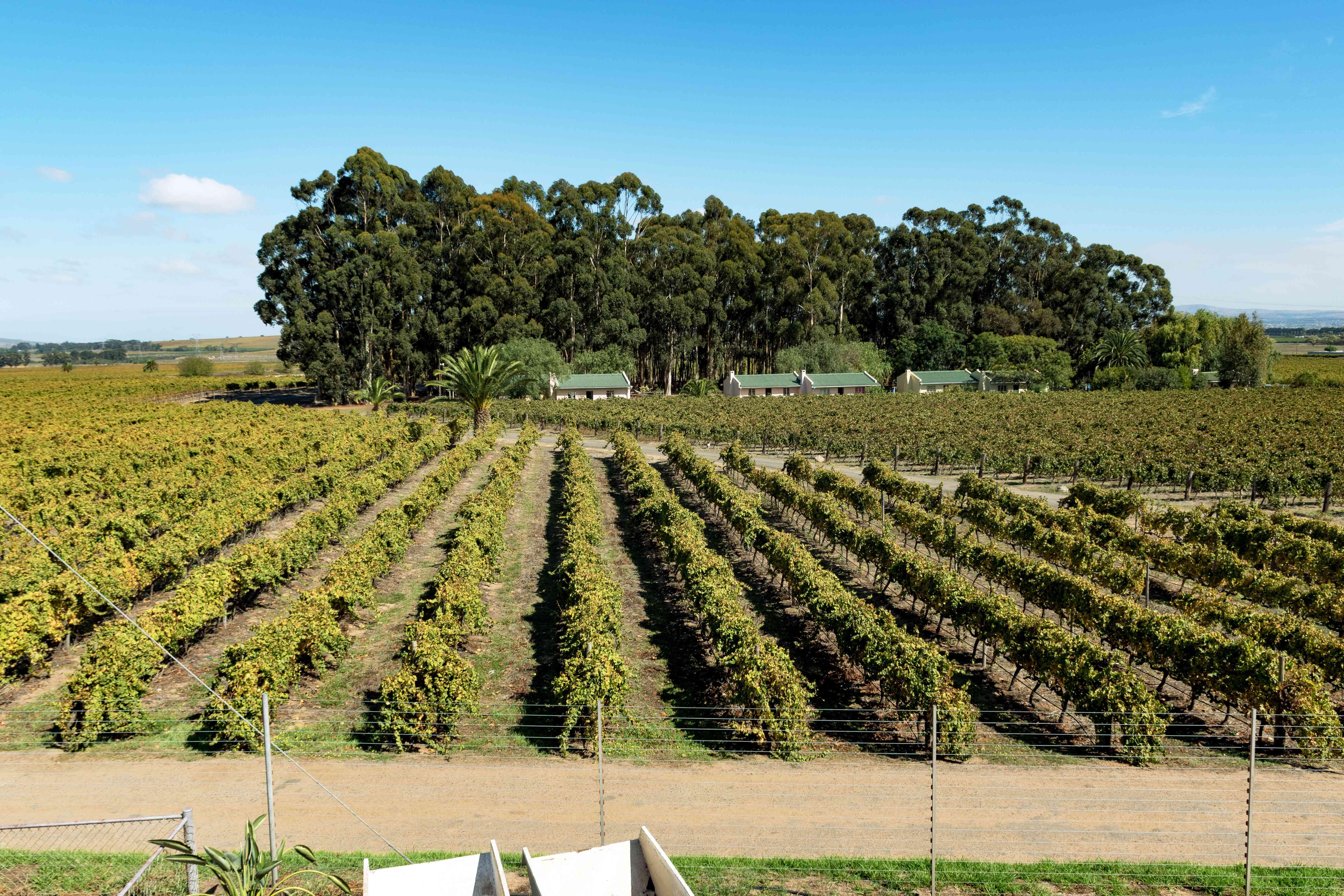 A Vineyard in Stellenbosch