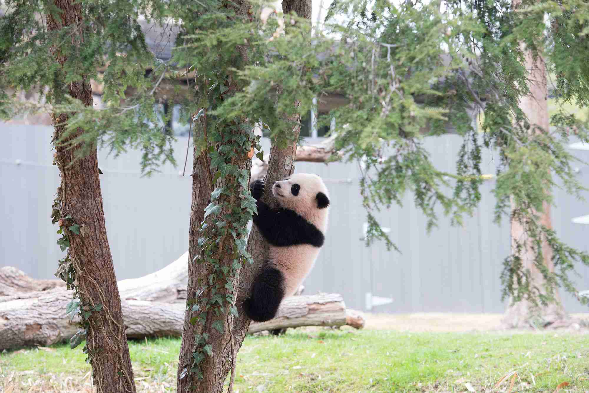 Panda at Zoo