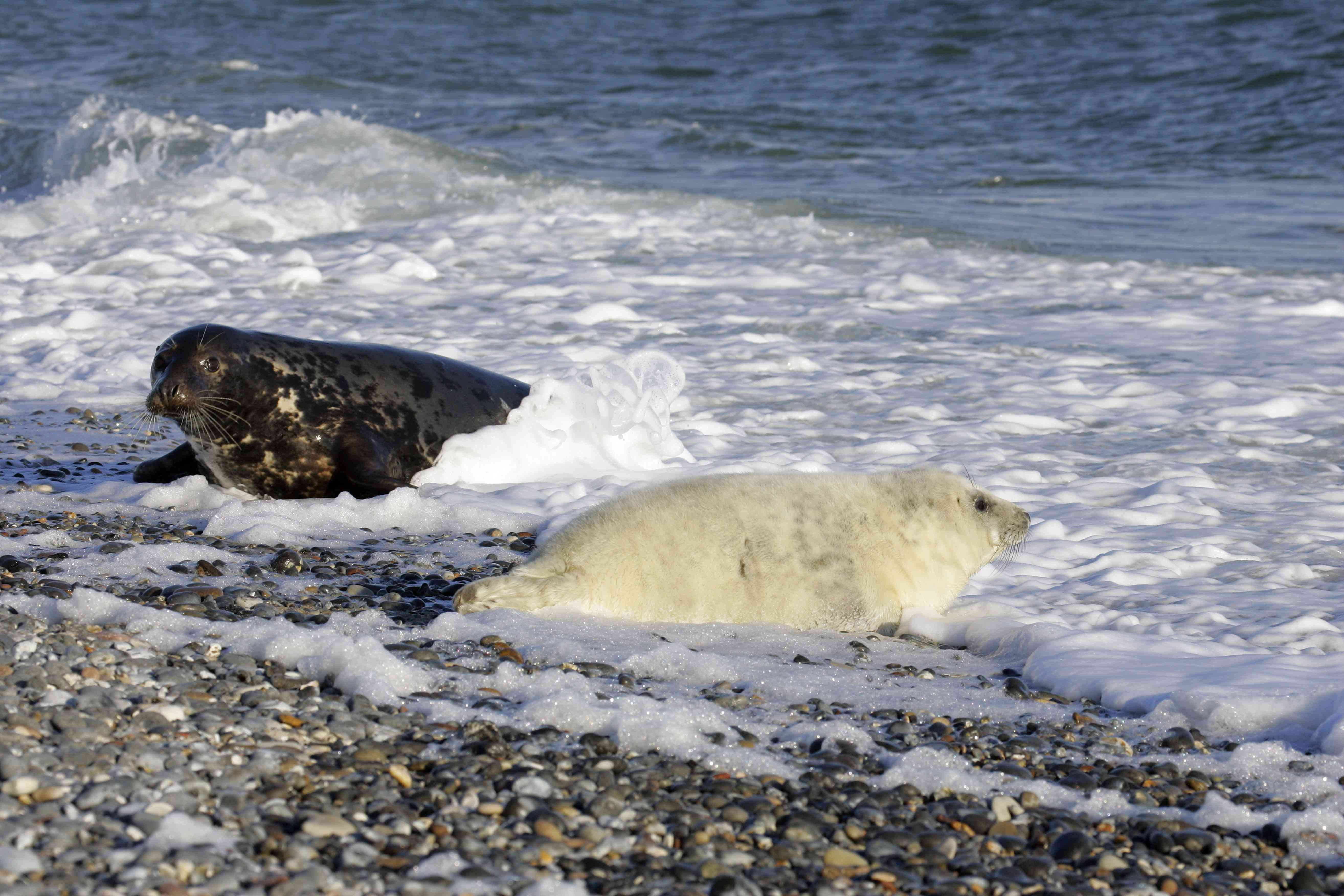 Gray seal baby and its mother in the background at the beach (Halichoerus grypus)