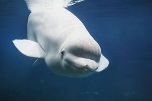 Close Up Front View Of The Head And Face Of A Beluga Whale Looking Through The Observation Glass At The Mystic Aquarium In Mystic, Connecticut.
