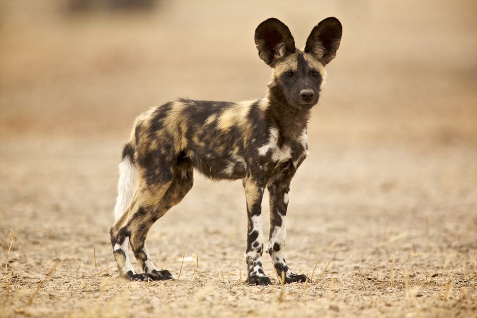 All About The African Wild Dog