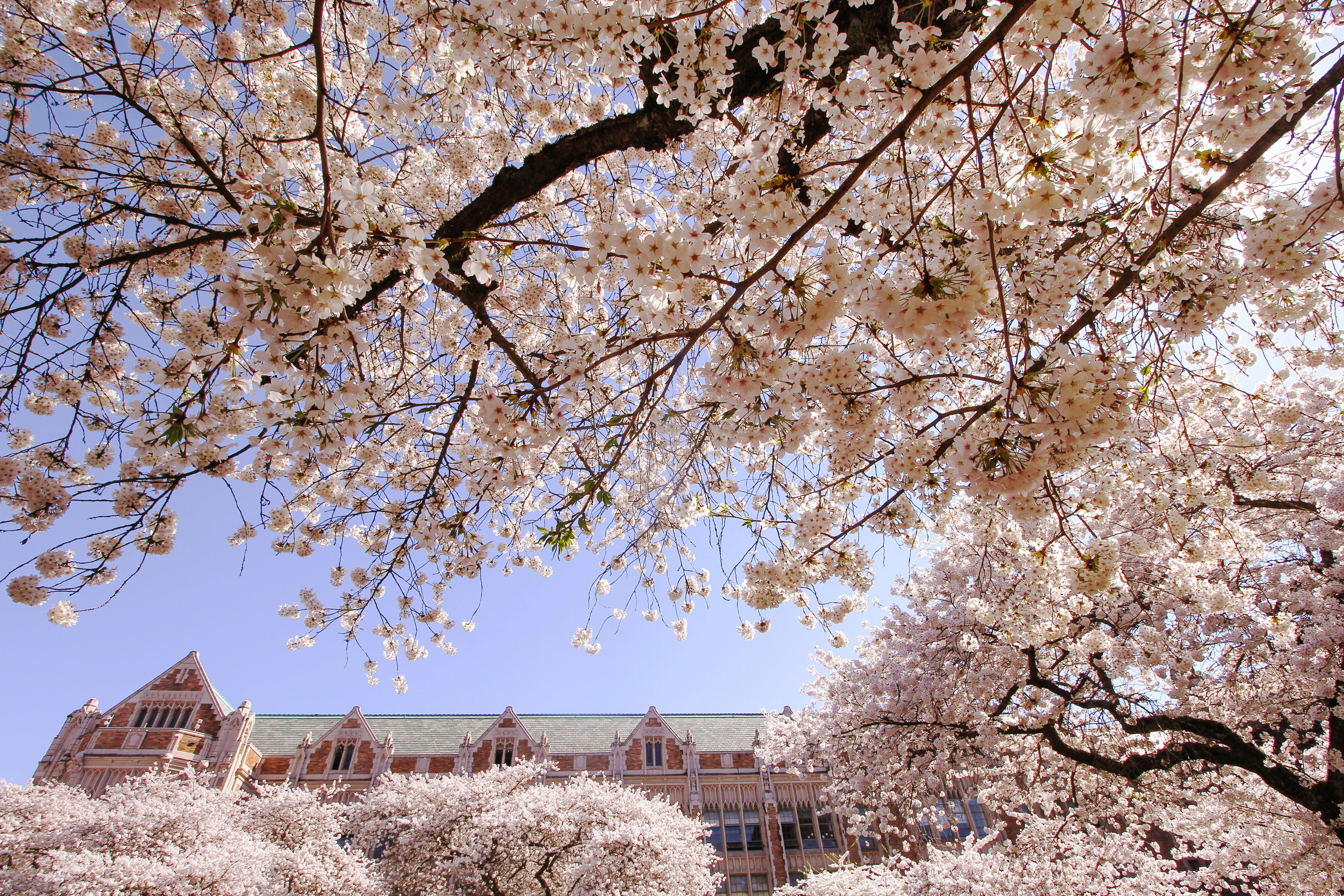 UoW campus during cherry blossom season