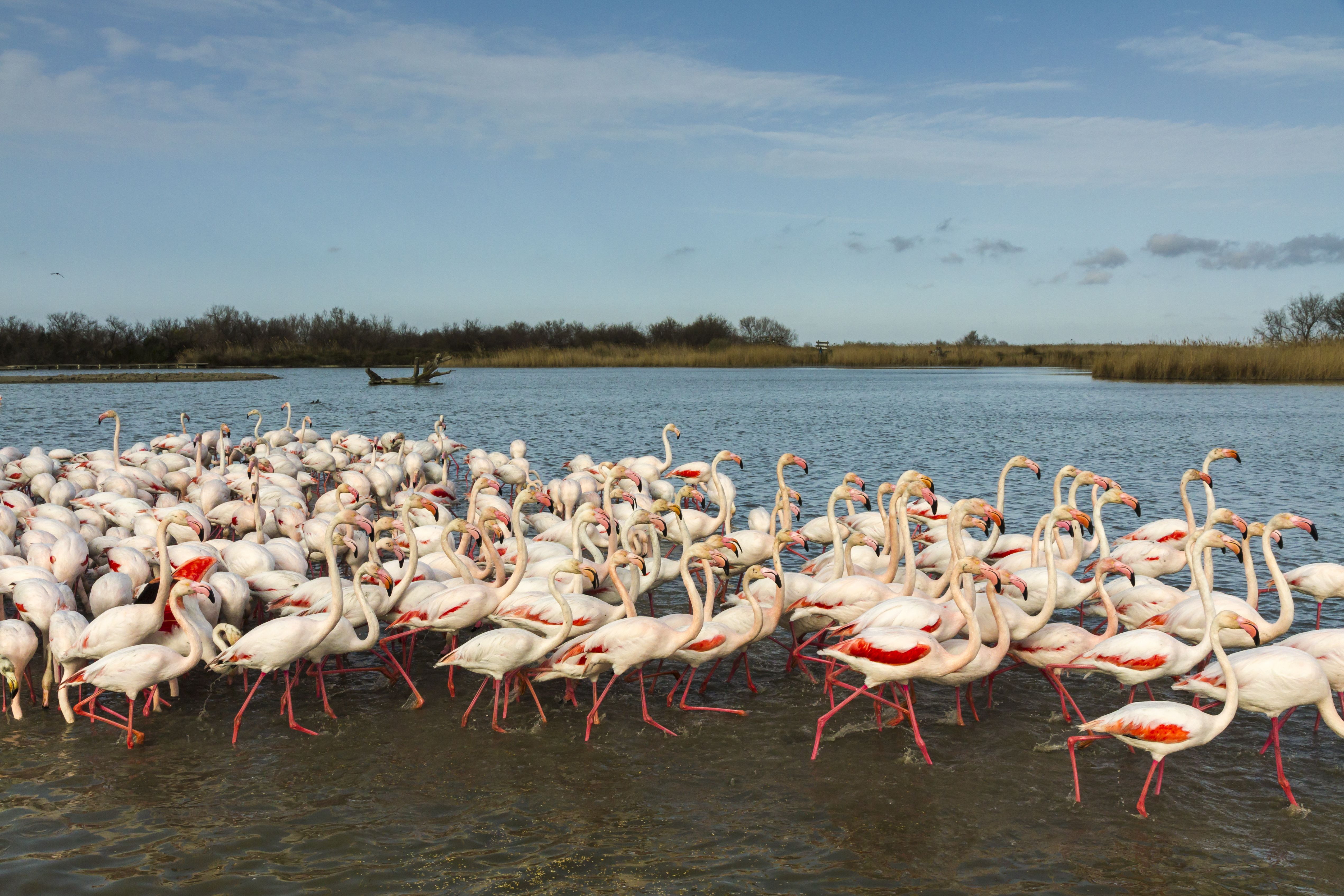 A large flock of Greater Flamingo (Phoenicopterus ruber) on the marsh landscape.