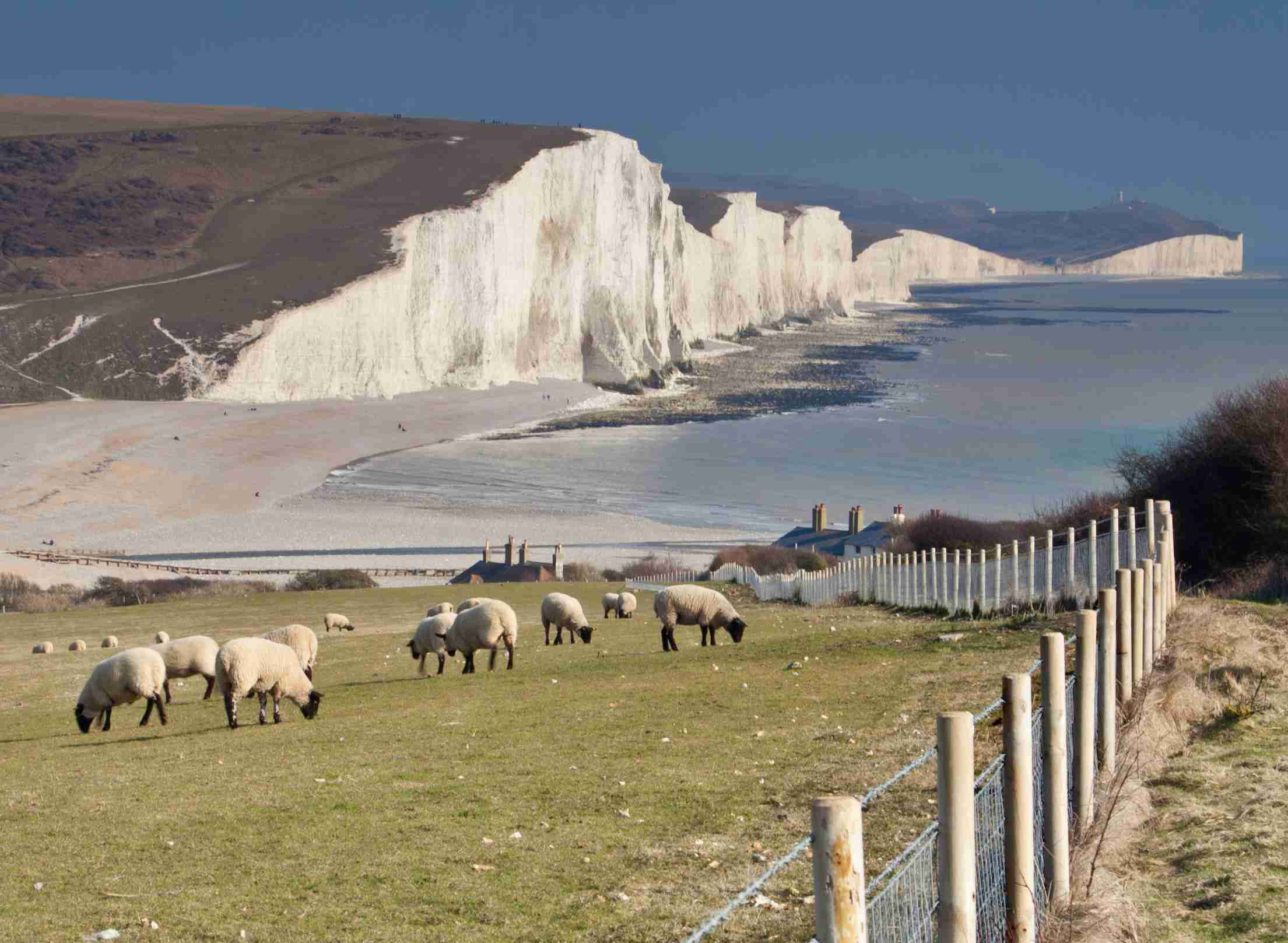 Seven Sisters cliffs seen beyond a flock of sheep in the foreground.