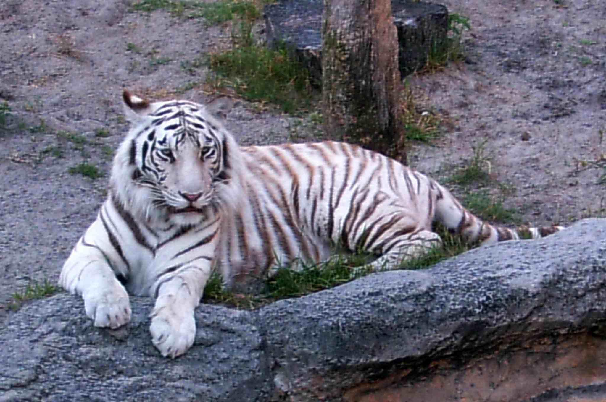 White Siberian Tiger Busch Gardens, Tampa Bay