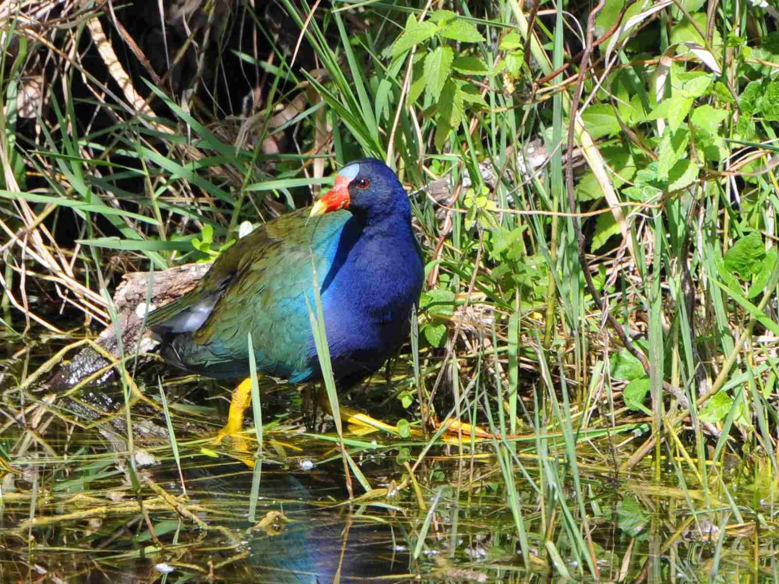 Purple Gallinule migratory bird