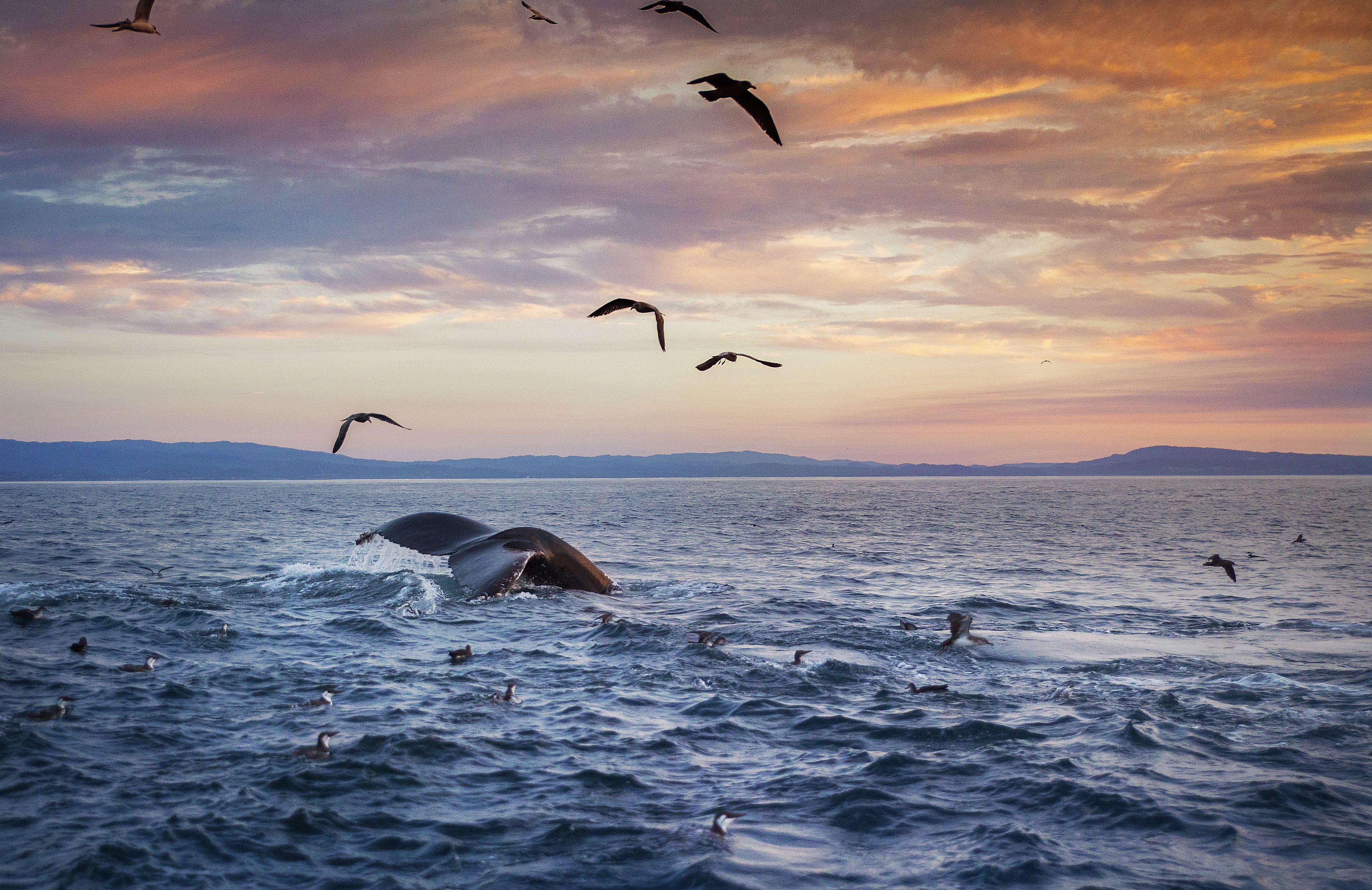 Ballena Bahía de Monterey, California