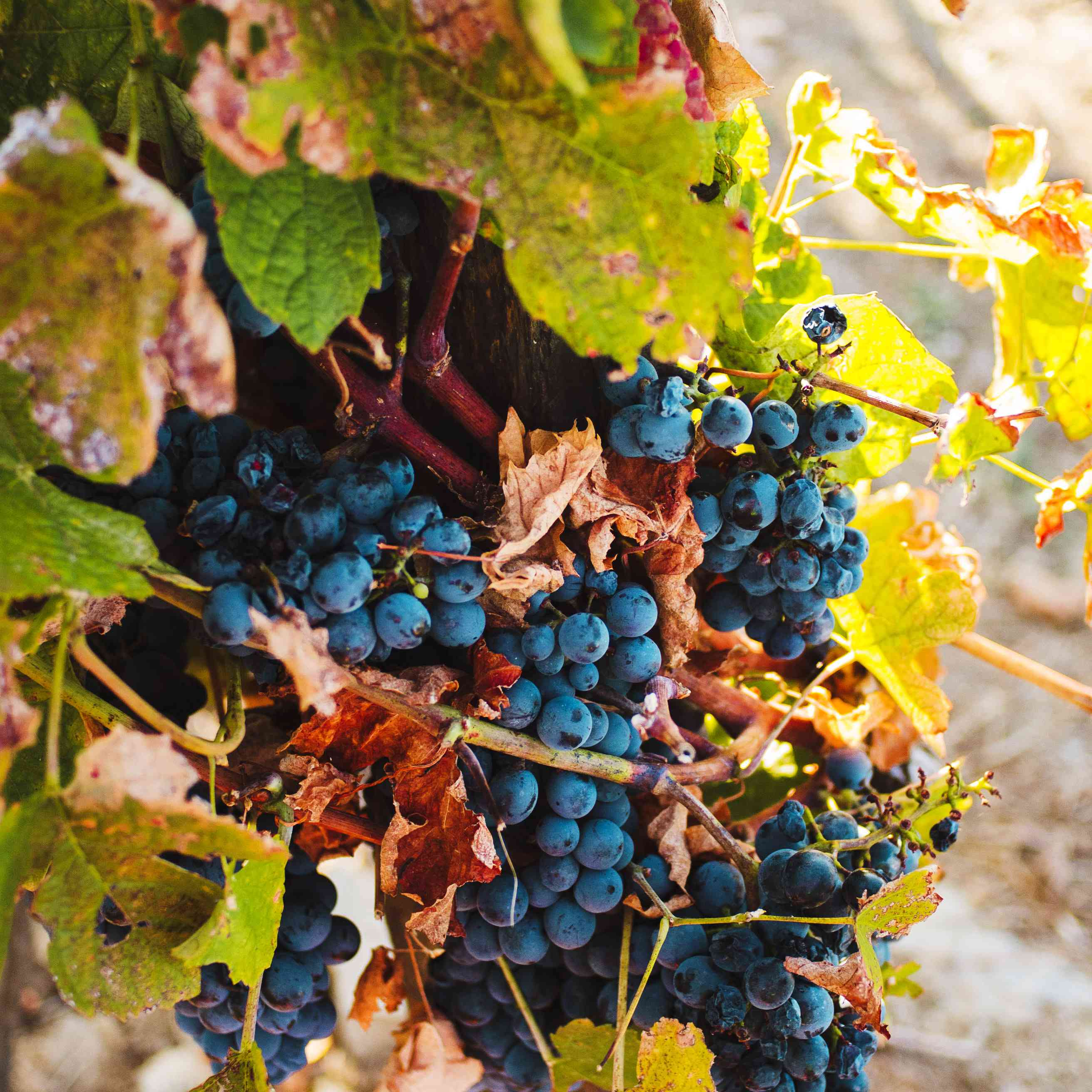 The grapes in the vineyards