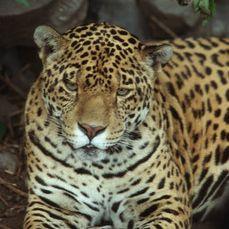 Jaguar, Ecuador