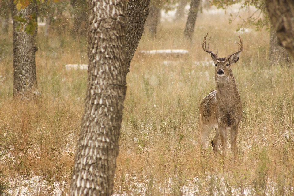 White tail buck in Lawton, Oklahoma
