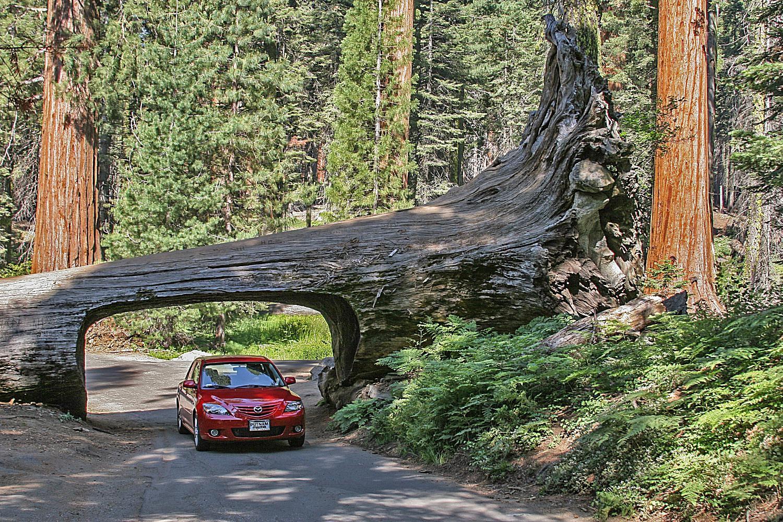 Lái xe qua đường hầm Log tại Sequoia