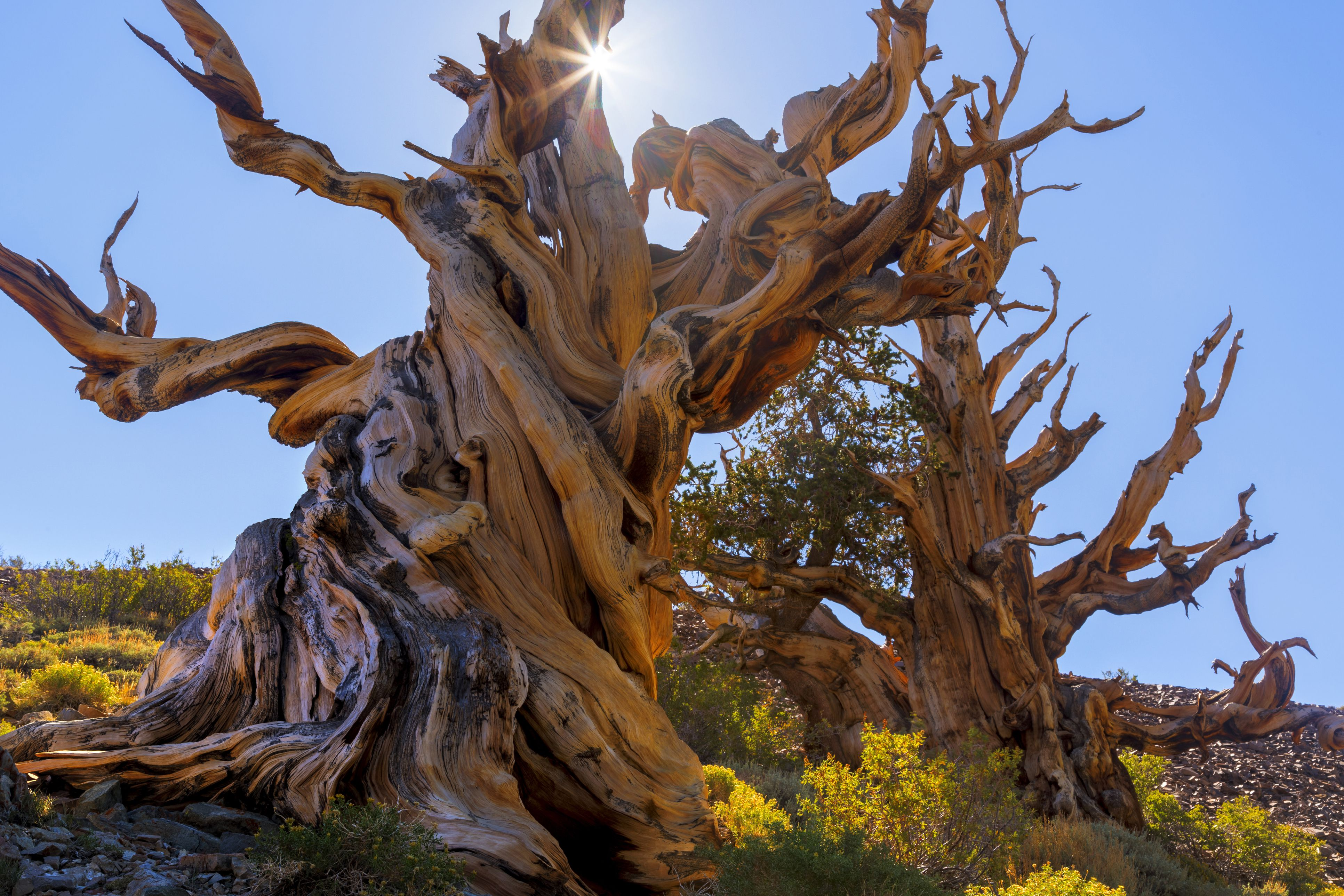 Sentinel Tree bristlecone pine, White Mountains Wilderness, California, USA