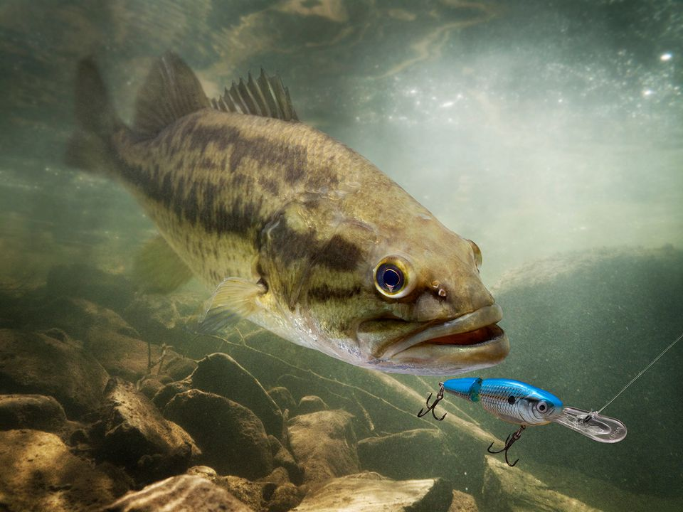 A large-mouth bass attacking a fishing lure