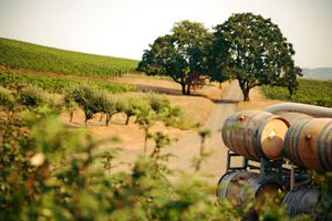 Road Leading to Vineyard with Big Trees and Wine Barrels