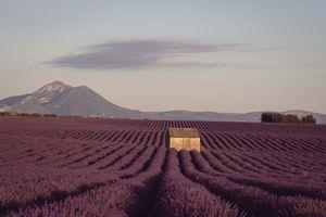 Lavender field at dusk