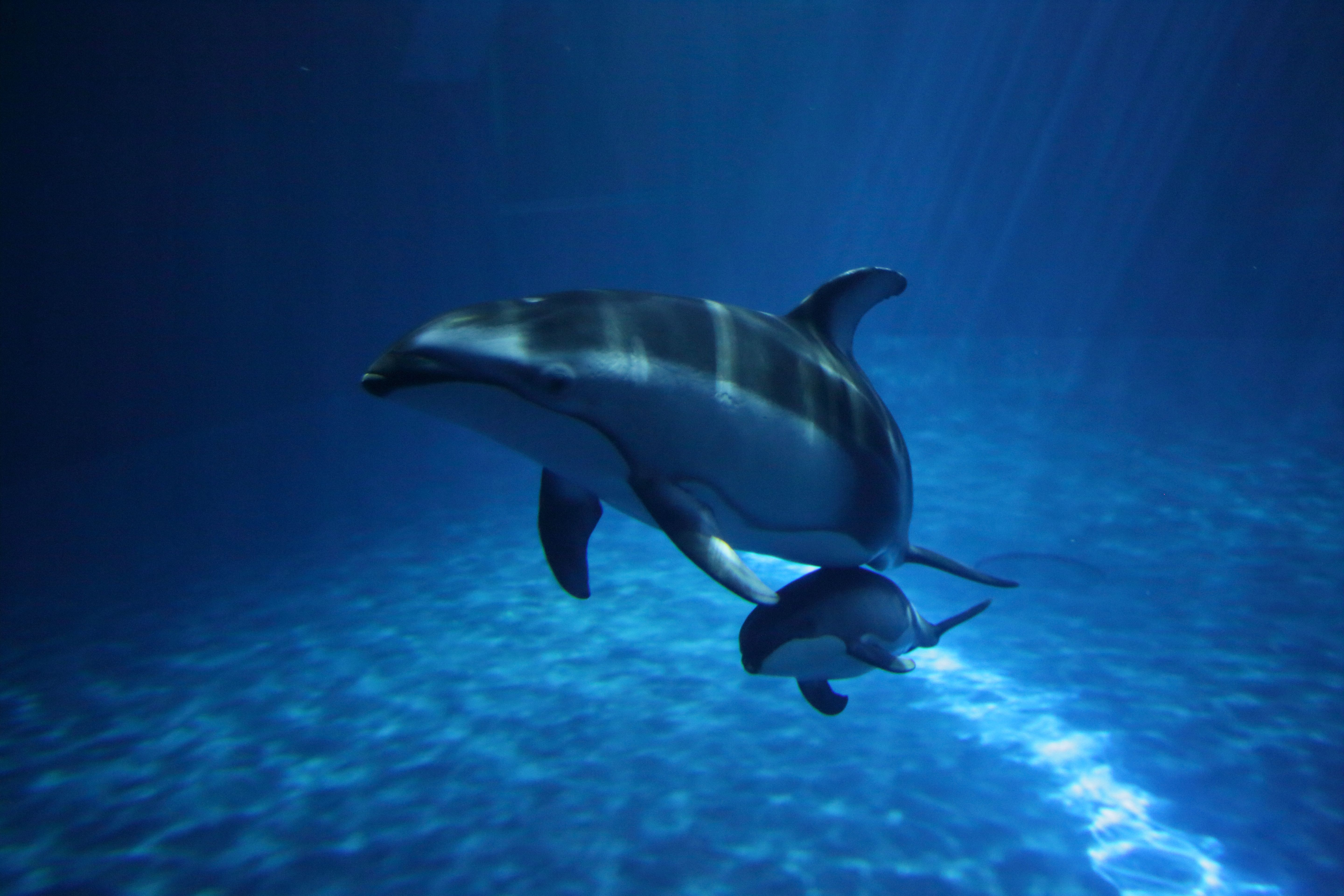 Piquet the Dolphin with her Calf at the Shedd Aquarium